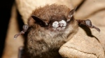 A brown bat suffering from white-nose syndrome, with the signature frosting of fungus on its nose, is shown in this October 2008 photo provided by the New York Department of Environmental Conservation (THE CANADIAN PRESS/AP-ho-New York Department of Environmental Conservation, Ryan von Linden, File)