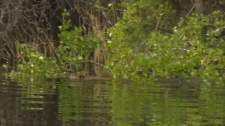 Beaver released into the wild after recovery