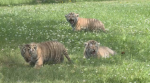 Moncton's Magnetic Zoo has a new attraction as their Amur tigers have welcomed four baby cubs.