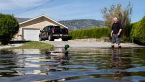A duck swims past Rick Sylbester as he walks across a flooded street after moving a vehicle to higher ground, in Osoyoos, B.C. on May 12, 2018. (Darryl Dyck/The Canadian Press)