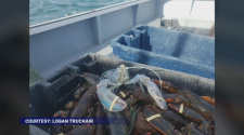 A rare albino lobster was caught Saturday near Glace Bay.