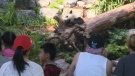 Many Calgarians visited the pandas on the long weekend.