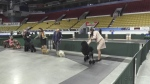 The annual KW Kennel Club Dog Show took over the Kitchener Aud this weekend showcasing talented pups