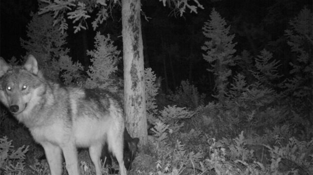 Wolves became more nocturnal if humans were around.