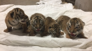 "A rare tiger cub has died at the Magnetic Hill Zoo. ""Upon birth, it was evident that she had issues including being the smallest and weakest of the four born,"" the zoo said on Facebook. (Magnetic Hill Zoo / Facebook)"