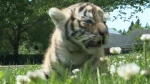 Moncton zoo mourns death of rare tiger cub