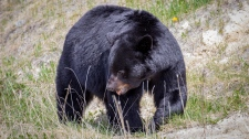 A black bear is seen in this undated handout photo. Parks Canada confirms that a dog did not survive an encounter with a bear on Wednesday evening after escaping from a car which had pulled over on the side of the road to view the bear. (THE CANADIAN PRESS/HO, Valerie Domaine, Parks Canada)