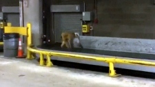 Monkey on the loose at airport