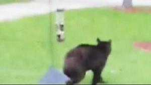 Bear sighting in Innisfil