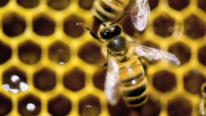 CTV National News: Dangerous state of bee-ing