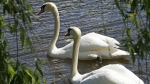 royal swans to Rideau River today