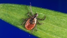 A blacklegged tick - also known as a deer tick. (CDC via AP)