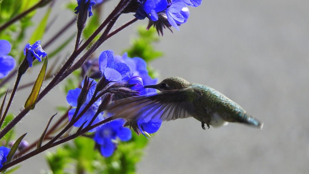 tanja kerr comox hummingbird flowers
