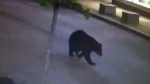 This bear was captured on surveillance video, casually strolling through downtown Truro in the middle of the night. (Inglis Jewellers)