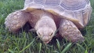 Khoopa, a 15-year-old African sulcata tortoise, went missing on Saturday while his owners were out of town. (Supplied)