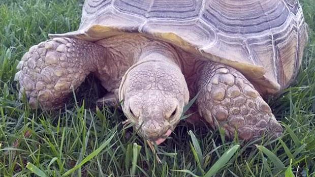 Tortoise on the loose