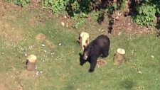 Extended: Bears wander through Belcarra park