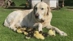This canine has been adopted by a flock of ducks