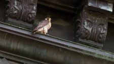 A pair of peregrine falcons are nesting on River's Edge church in NDG in 2018