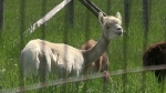 CTV Windsor: Dead alpaca found