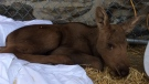 One of two moose calves being cared for at the Aspen Valley Wildlife Sanctuary (Rob Cooper/CTV Barrie)