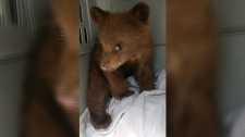 An orphaned black bear, found in southwestern Alberta on Wednesday, is now in the care of wildlife experts in Cochrane. (Alberta Environment)