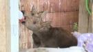 Two moose calves are being nursed in Moose Jaw