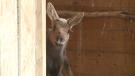 Moose mascots move into Friendly City