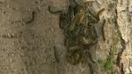 Tent caterpillars back again in Saskatoon
