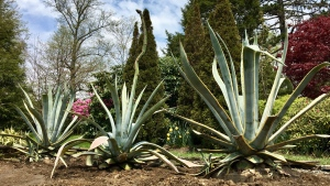 Agave plants are seen in Halifax on Friday, May 25, 2018. THE CANADIAN PRESS/Aly Thomson