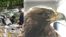 This combination photo shows an eagle being rescued and standing inside a dog kennel after the rescue. (BC RCMP)