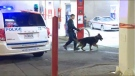 Montreal police used search dogs to try to locate the weapon - or weapons - used in the altercation at a gas station parking lot Saturday morning. (CTV Montreal)