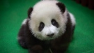 A new baby panda sits on the ground at Malaysia Zoo in Kuala Lumpur, Malaysia on Saturday, May 26, 2018. (AP Photo/Vincent Thian)