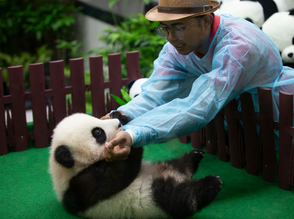 A zoo worker plays with a baby panda at Malaysia Zoo in Kuala Lumpur, Malaysia Saturday, May 26, 2018. The female panda which was born in the zoo five months ago and has not yet been named, made her first media appearance. (AP Photo/Vincent Thian)