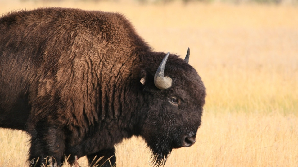 This undated file photo shows a young bison in Alberta's Elk Island National Park. (AP Photo/Courtesy of American Prairie Foundation, Dennis J. Lingohr)