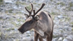 A Woodland caribou is shown in a British Columbia government handout photo. (Government of British Columbia)
