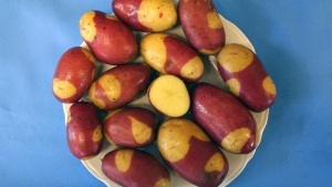 The University of Maine says the Pinto Gold potato will be especially well suited to roasting.