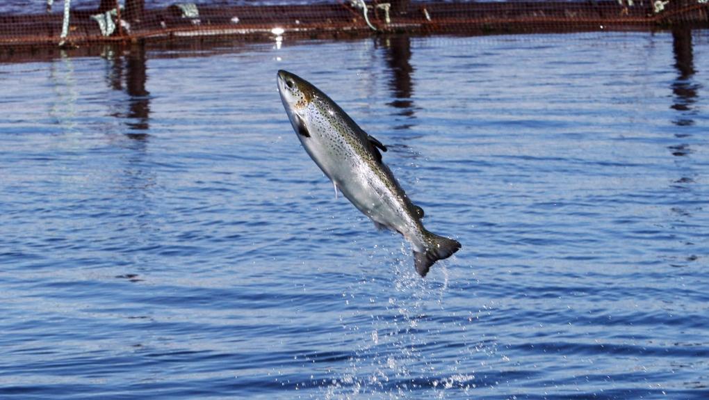1,000 salmon escaped a farm near the Canada-U.S. border