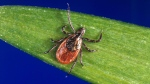 In this undated photo provided by the U.S. Centers for Disease Control and Prevention, a blacklegged tick - also known as a deer tick. (CDC via AP)