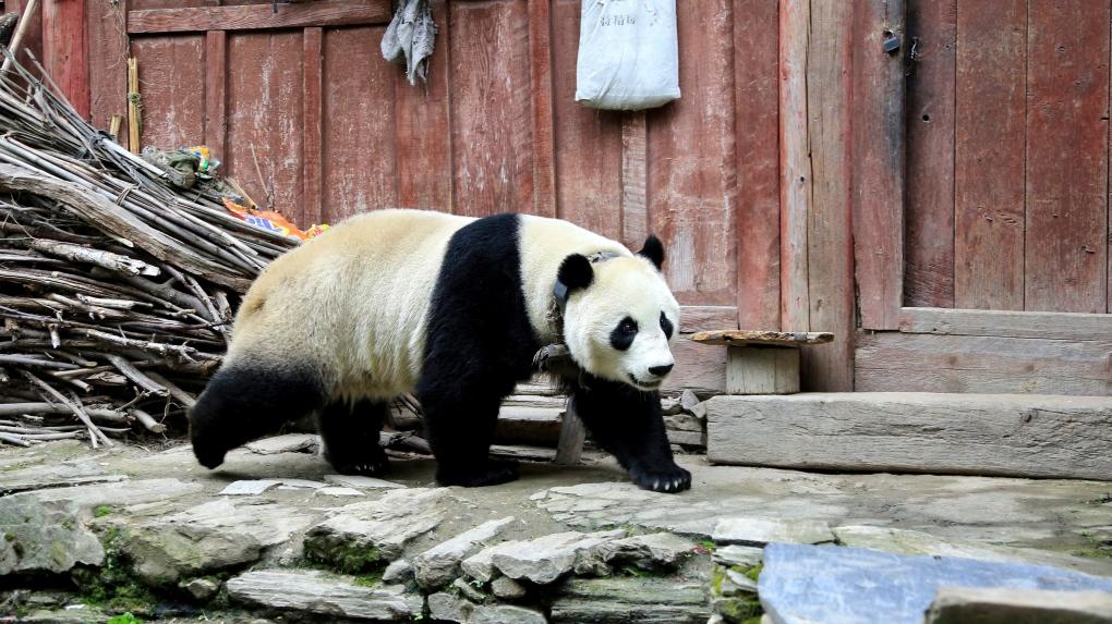 A Giant panda