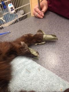 A witness said they saw the men dump the duct-taped cat, which appeared to be injured, out of the car window and drive away. June 1, 2018. (Courtesy BC SPCA)