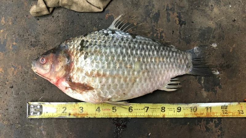 This Prussian carp was caught on Stockwell Lake, about 70 kilometers southeast of Rosetown. (Courtesy: Saskatchewan Sportfish Research Group)