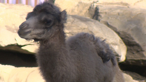 Zoo officials say that the residents of Calgary likely haven't ever seen a baby camel at the facility before.