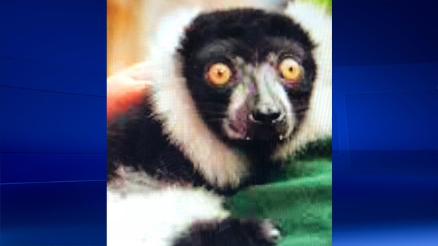 OPP say a lemur named JC was found in Quebec. (Submitted photo)