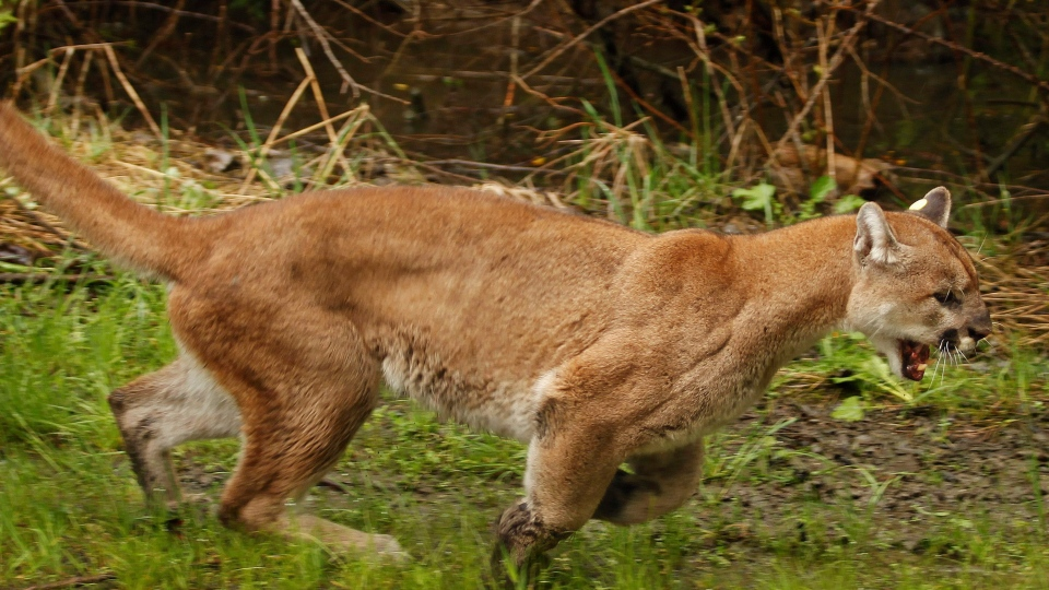 This file photo shows an approximately 2-year-old female cougar running. (Mark Mulligan/The Daily Herald via AP, File)