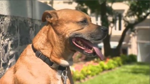 """Originally, Bill 128 was set to ban a list of dogs considered to be """"potentially dangerous,"""" including pit bulls, American Staffordshire terriesrs, bull terriers, Rottweilers, and cross-bred or hybrid dogs. (CTV Montreal)"""