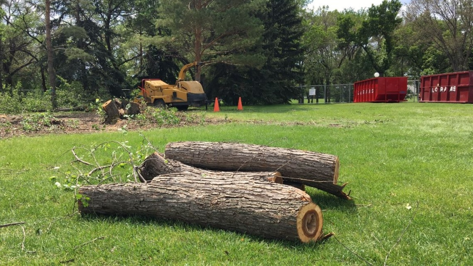 Trees are being torn down for construction in Wascana Park (Gareth Dillistone / CTV Regina)