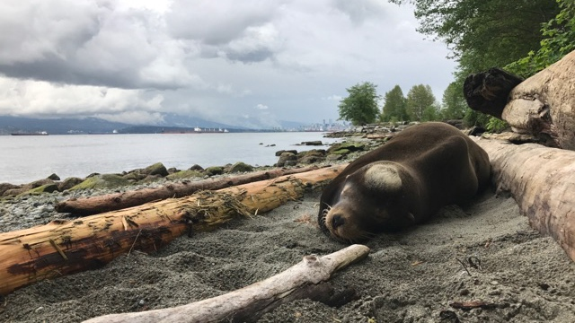Senor Cinco is seen the day he was rescued from Vancouver's Spanish Banks beach. (Vancouver Aquarium)