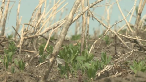 Sask Crops