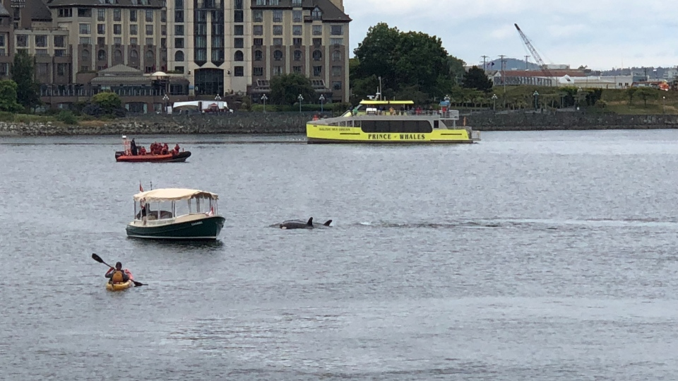 A pod of orcas swam close to whale-watching vessels and a water taxi in Victoria's Inner Harbour, just in front of Delta's Ocean Pointe Resort. June 7, 2018. (Courtesy Gordon Slyter)